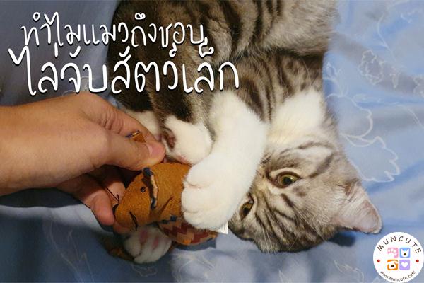 ทาสแมวจงฟัง! ทำไมแมวถึงชอบไล่จับสัตว์เล็ก