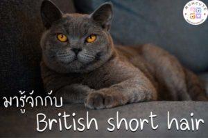 ทาสแมวจงฟัง! มารู้จักกับแมวพันธุ์ บริติช ชอร์ตแฮร์กันเถอะ
