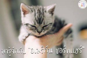 ทาสแมวจงฟัง! มารู้จักกับแมวพันธุ์อเมริกัน ชอร์ตแฮร์กันเถอะ