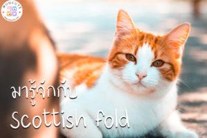 ทาสแมวจงฟัง! มารู้จักกับแมวพันธุ์ สก็อตติช โฟลด์กันเถอะ