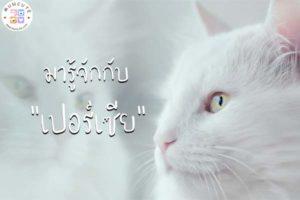ทาสแมวจงฟัง! มารู้จักกับแมวพันธุ์ เปอร์เซีย กันเถอะ