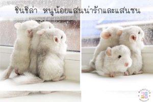 ชินชิล่า หนูน้อยแสนน่ารักและแสนซน #สัตว์โลกน่ารัก