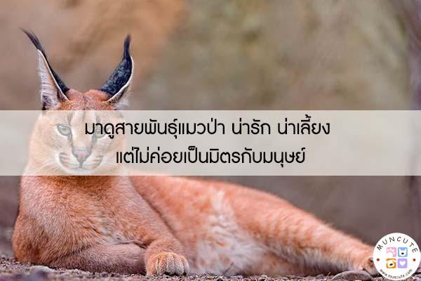 มาดูสายพันธุ์แมวป่า น่ารัก น่าเลี้ยง แต่ไม่ค่อยเป็นมิตรกับมนุษย์ #สัตว์โลกน่ารัก