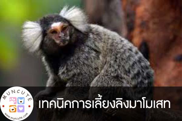 เทคนิคการเลี้ยงลิงมาโมเสท